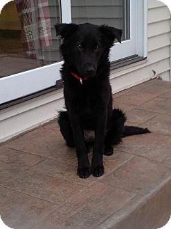 Flat-Coated Retriever/Collie Mix Dog for adoption in Naperville, Illinois - Ebony