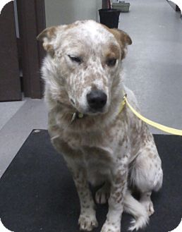 Australian Shepherd/Australian Cattle Dog Mix Dog for adoption in Minneapolis, Minnesota - Riley