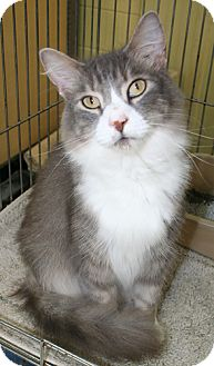 Domestic Mediumhair Cat for adoption in Asheville, North Carolina - Jacque