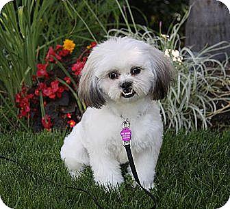 Shih Tzu/Maltese Mix Puppy for adoption in Newport Beach, California - JOKER