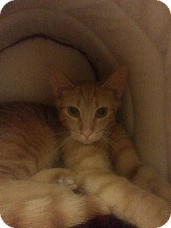 Domestic Shorthair Kitten for adoption in West Dundee, Illinois - Honey Buns