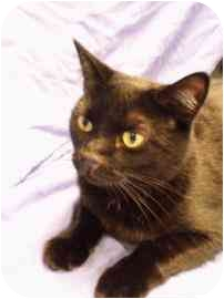 Domestic Shorthair Kitten for adoption in Walker, Michigan - Lilly