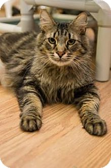 Domestic Longhair Cat for adoption in Frankenmuth, Michigan - Carmel