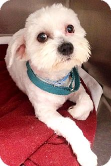 Lhasa Apso Dog for adoption in Detroit Lakes, Minnesota - Koa
