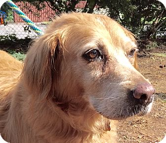 Golden Retriever Mix Dog for adoption in BIRMINGHAM, Alabama - Alexis