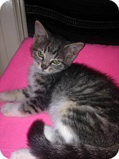 Domestic Shorthair Kitten for adoption in Rockford, Illinois - Nikki