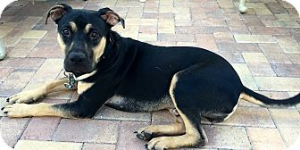 German Pinscher/Beauceron Mix Dog for adoption in Ft Myers Beach, Florida - Gentle soul named Buford!!