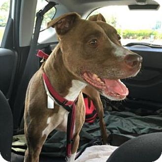 Pit Bull Terrier Mix Dog for adoption in Westwood, New Jersey - Bambi
