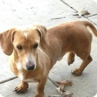 Dachshund Dog for adoption in Dallas, Texas - Prince Hairy