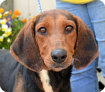 Coonhound (Unknown Type) Mix Dog for adoption in Jackson, Mississippi - Charlene
