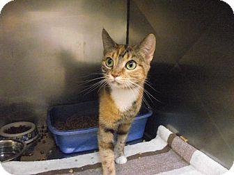 Domestic Shorthair Cat for adoption in Chambersburg, Pennsylvania - Tigger