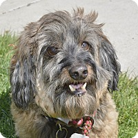 Adopt A Pet :: Munchkin - Meridian, ID
