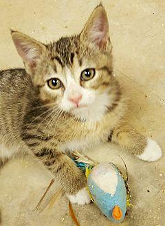American Shorthair Kitten for adoption in Gainesville, Georgia - myra
