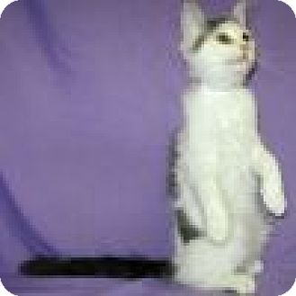 Domestic Shorthair Cat for adoption in Powell, Ohio - Hootie