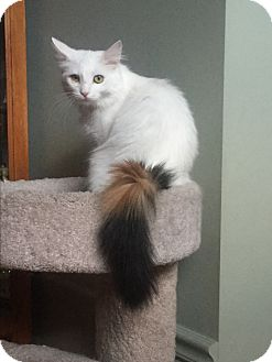 Calico Cat for adoption in Sterling Hgts, Michigan - Mama Gucci