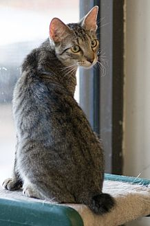 Domestic Shorthair Cat for adoption in Houston, Texas - BOBBIE