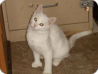 Domestic Shorthair Cat for adoption in Medford, Wisconsin - ECHO