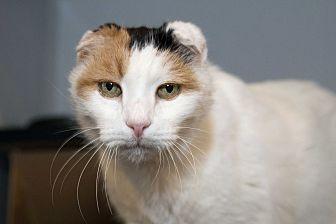Domestic Shorthair Cat for adoption in Los Angeles, California - Gallaudet