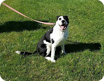 Labrador Retriever Mix Dog for adoption in Cameron, Missouri - McCoy