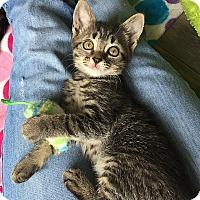 Adopt A Pet :: Whiskey - Tampa, FL
