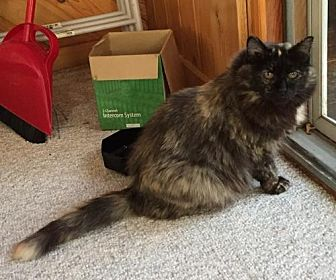 Domestic Mediumhair Cat for adoption in St. Paul, Minnesota - Diamond and Jerry