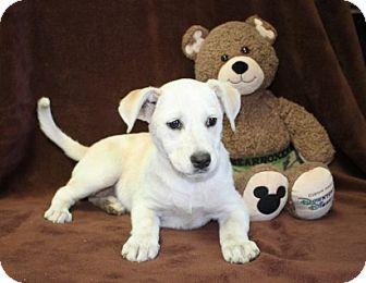Labrador Retriever Mix Puppy for adoption in Greenwich, Connecticut - Jolene