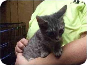 Domestic Shorthair Kitten for adoption in Mason City, Iowa - Tarzan