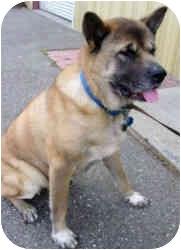 Akita Dog for adoption in Hayward, California - Kia