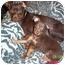 Photo 2 - Miniature Pinscher Mix Dog for adoption in Greensboro, North Carolina - Cosmo