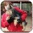 Photo 2 - Yorkie, Yorkshire Terrier/Schnauzer (Miniature) Mix Dog for adoption in Foster, Rhode Island - Allie