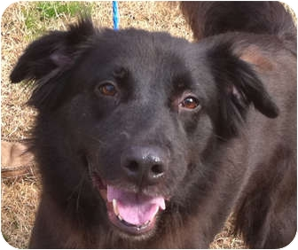 Flat-Coated Retriever/Border Collie Mix Dog for adoption in New Canaan, Connecticut - Guinevere