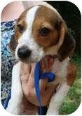 Beagle/Hound (Unknown Type) Mix Puppy for adoption in Portland, Maine - Speegle