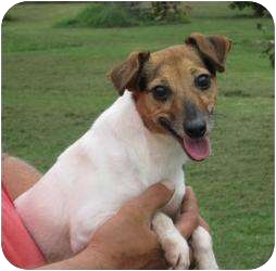 Jack Russell Terrier Dog for adoption in Greenville, Rhode Island - Vicky