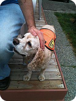 Cocker Spaniel Dog for adoption in Tacoma, Washington - RED
