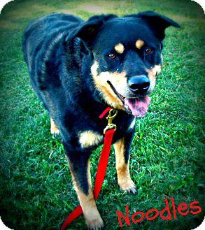Rottweiler/Shepherd (Unknown Type) Mix Dog for adoption in Watertown, South Dakota - Noodles