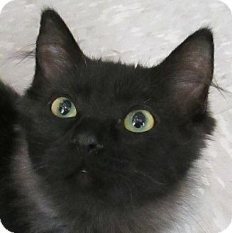 Domestic Longhair Kitten for adoption in Winchester, California - Negra