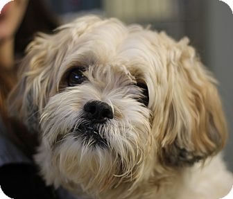 Shih Tzu Mix Dog for adoption in East Hanover, New Jersey - Nico