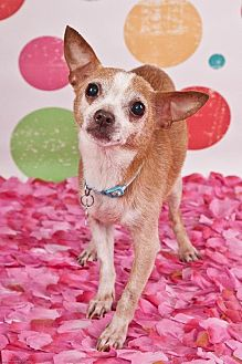 Chihuahua Dog for adoption in Elizabethtown, Pennsylvania - Rosie the chichi