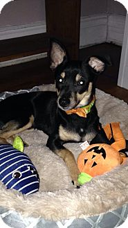 Miniature Pinscher/Chihuahua Mix Dog for adoption in North Brunswick, New Jersey - Chippy