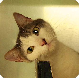 Domestic Shorthair Cat for adoption in Daytona Beach, Florida - Charlie