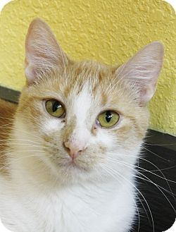 Domestic Shorthair Cat for adoption in Benbrook, Texas - Riley