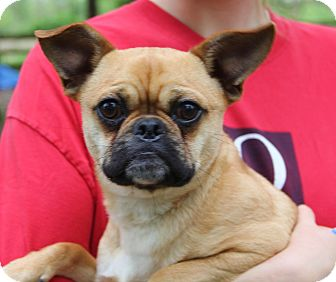 Pug Mix Dog for adoption in Stamford, Connecticut - ACE - fostered in CT