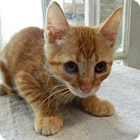 Adopt A Pet :: Dweezil - The Colony, TX