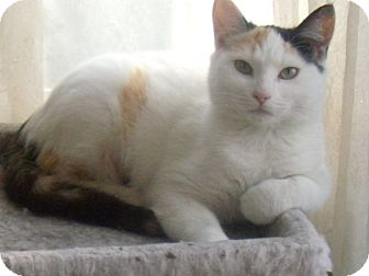 Calico Cat for adoption in Buford, Georgia - LYDIA-$35.00