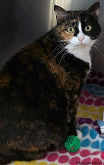 Calico Cat for adoption in St Louis, Missouri - Vivian