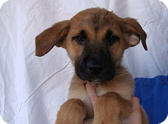 German Shepherd Dog/Labrador Retriever Mix Puppy for adoption in Oviedo, Florida - Cole