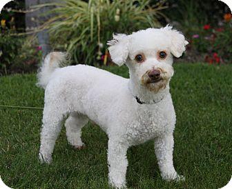 Bichon Frise Mix Dog for adoption in Newport Beach, California - ZANDER