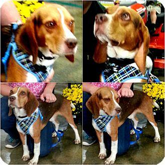 """Beagle Dog for adoption in Findlay, Ohio - """"PETEY"""""""