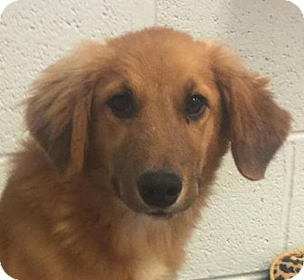 Collie Mix Puppy for adoption in Brattleboro, Vermont - Muffy