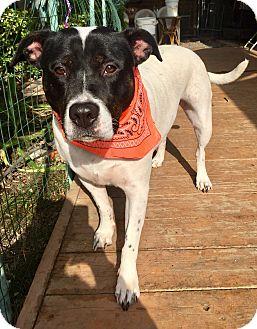 Staffordshire Bull Terrier/Shepherd (Unknown Type) Mix Dog for adoption in Santa Ana, California - Dottie